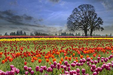spring tulips web